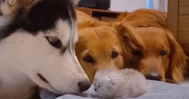 trois chiens regardent un chaton