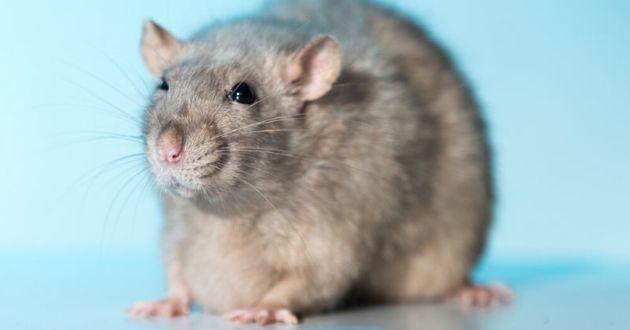 rat avec une tumeur