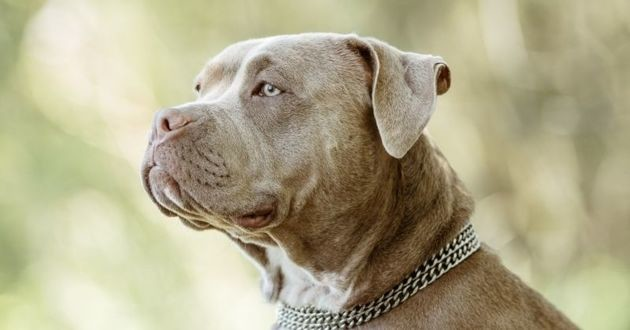 chien american bully