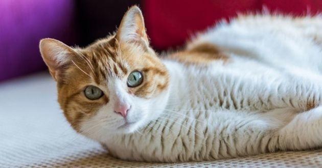 chat blanc et roux allongé