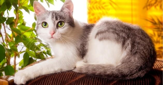 chat domestique allongé