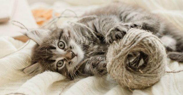 un chat gris avec de la laine