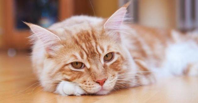 un chat maine coon triste