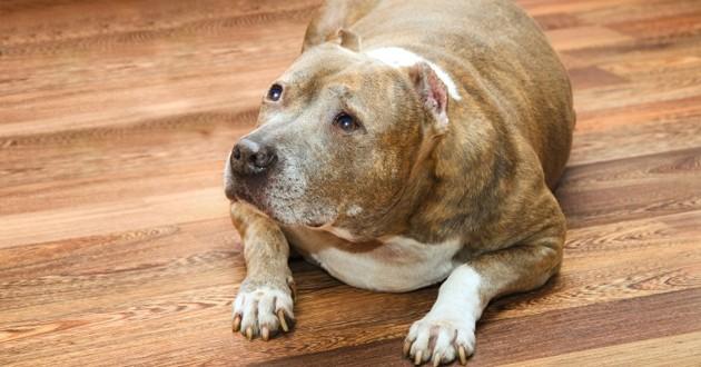 un chien obèse