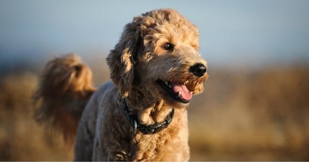 un beau chien goldendoodle souriant