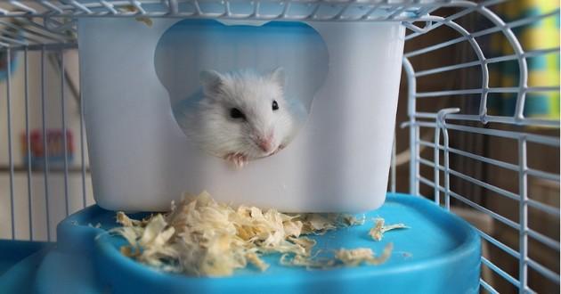un hamster en cage