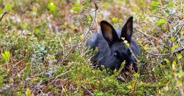 un lapin noir dans la nature