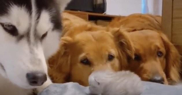 un chaton et trois chiens