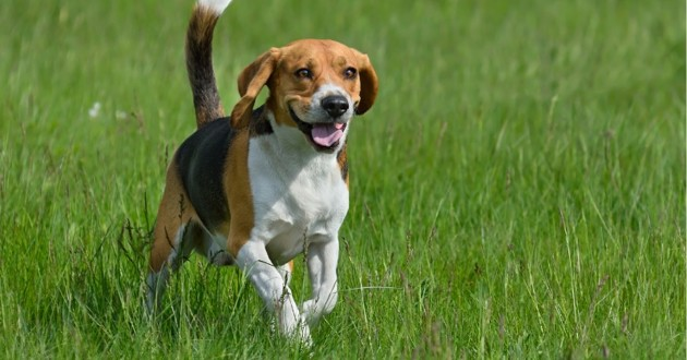 une beagle dans l'herbe