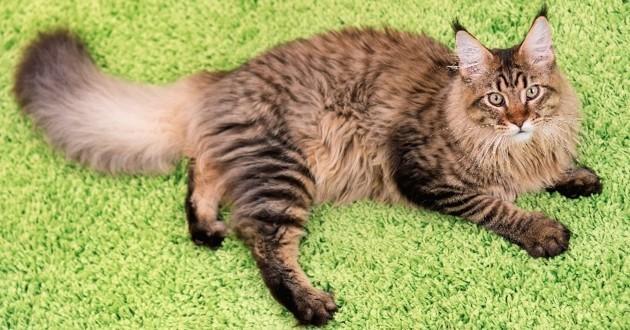 Maine Coon race de chat préférée des Français