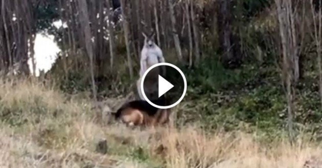 chien kangourou