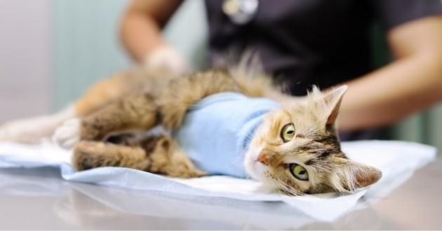 un chat qui s'est fait opérer