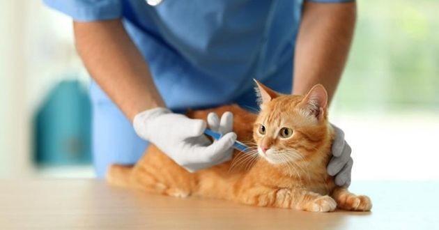 chat roux qui se fait vacciner