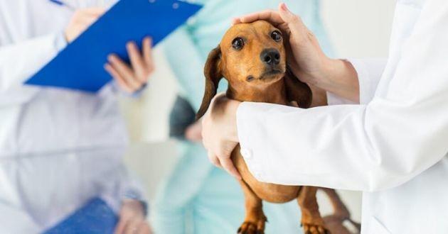 chien leishmaniose