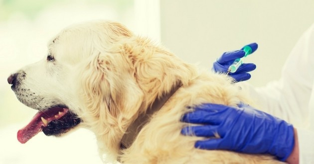 Golden retriever vétérinaire
