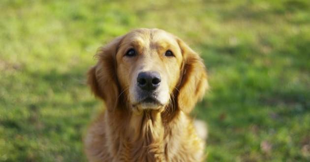 chien âgé, chien senior