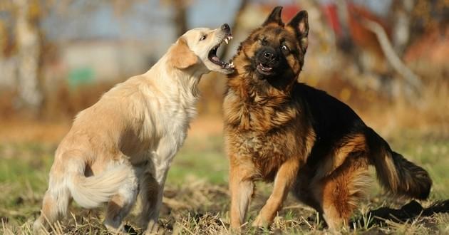 st rilisation et conflit chez le chien soigner son chien wamiz. Black Bedroom Furniture Sets. Home Design Ideas