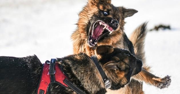 Dois-je faire castrer mon chien pour résoudre ses problèmes de comportement ?