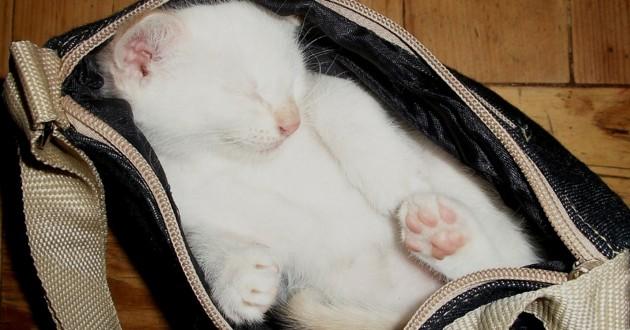chat blanc qui dort dans un sac de voyage