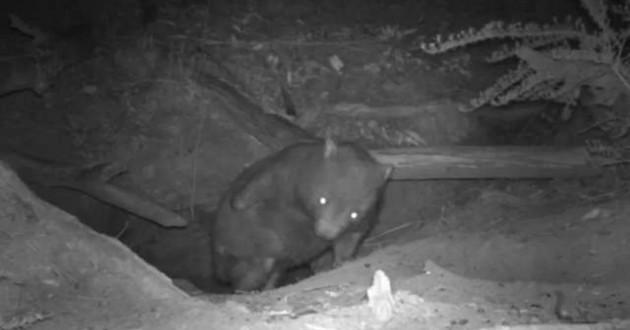 wombat dans son terrier