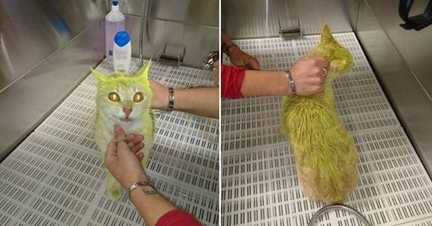 chat teint en jaune
