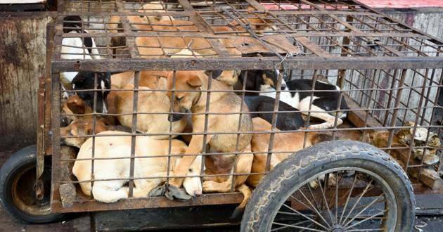festival yulin viande chien chat
