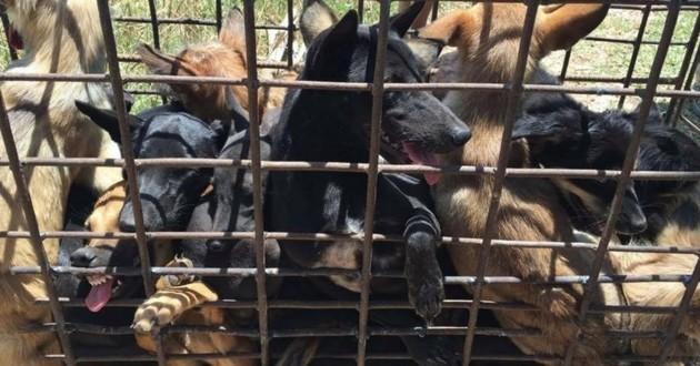 Festival de Yulin chiens viande