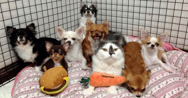 Un chat mène sa meute de Chihuahuas d'une patte de maître et va vous faire fondre !
