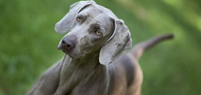 Braque de Weimar : tout savoir sur cette race de chien