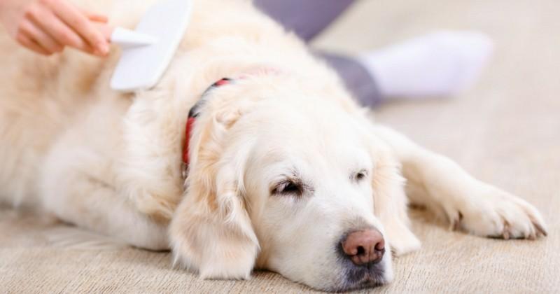 Comment limiter la chute de poils chez le chien ?