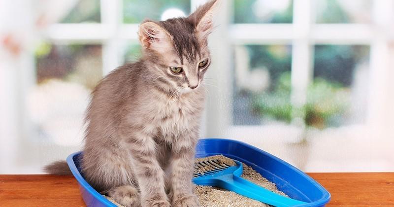 Comment apprendre l'usage de la litière à son chat ?