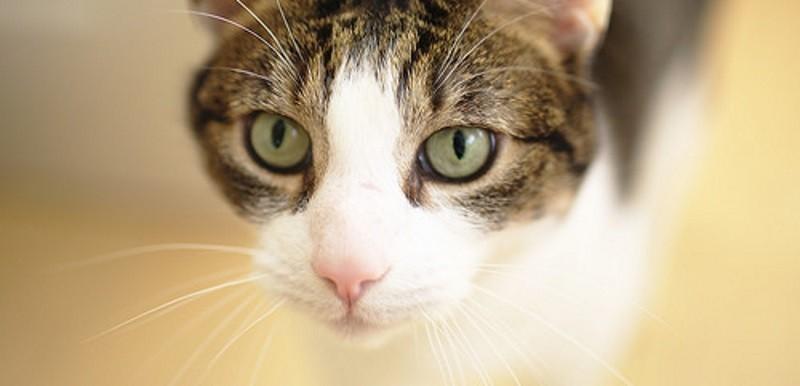 La stérilisation du chat : les fausses croyances et vrais avantages