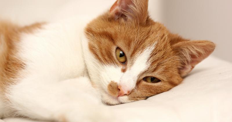 la douleur chez le chat comment savoir si mon animal a. Black Bedroom Furniture Sets. Home Design Ideas