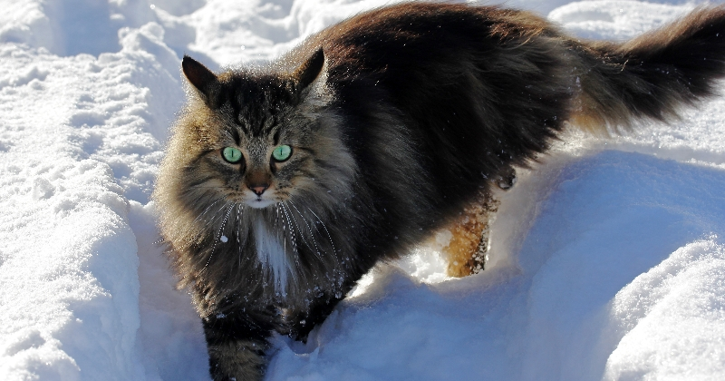 Le chat et le froid : comment le protéger en hiver ?