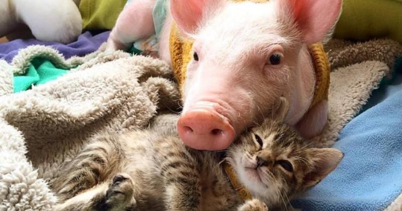incroyable ce chaton partage une merveilleuse amiti avec un cochon vid o du jour. Black Bedroom Furniture Sets. Home Design Ideas