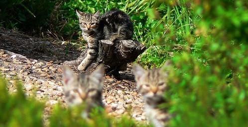LAustralie veut se débarrasser de ses chats sauvages , Cause animale , Wamiz