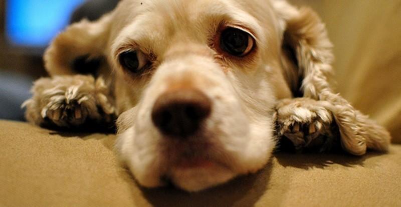Et si les chiens étaient vraiment jaloux ? - Comprendre