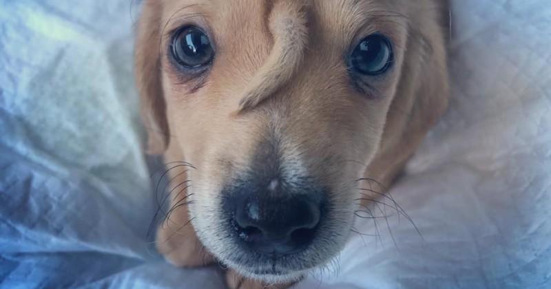 Ils sauvent un « chien-licorne » du froid : il a une 2e queue entre les yeux !