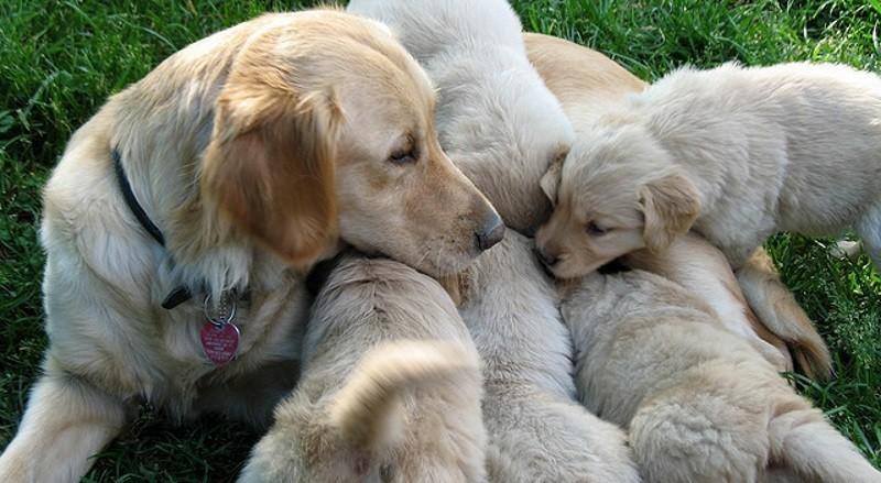 Ma chienne est gestante comment prendre soin d 39 elle et de ses petits reproduction du chien - Temps de portee d une chienne ...