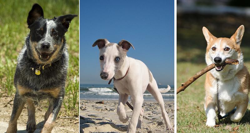 Les 10 races de chiens qui vivent le plus longtemps