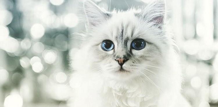 comment s appelle le chat de karl lagerfeld