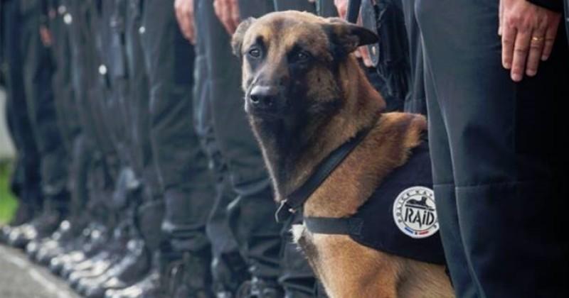 Hommage : mort au combat il y a un an, Diesel le chien du RAID est éternel