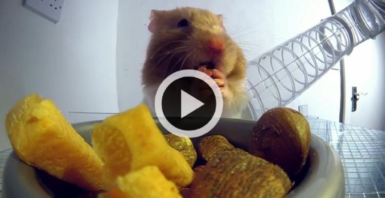 un hamster se remplissant les abajoues film aux rayons x vid o du jour vid os wamiz. Black Bedroom Furniture Sets. Home Design Ideas