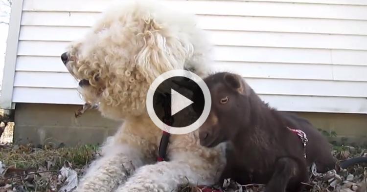 Ces deux chiens passent leur temps s 39 occuper de b b s - Jeux de chiens a s occuper ...
