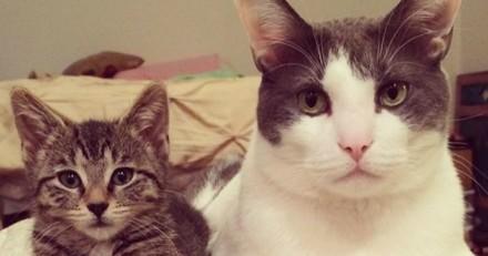 Charlie, le chat d'accueil qui est le « meilleur éleveur de chatons » de New York !