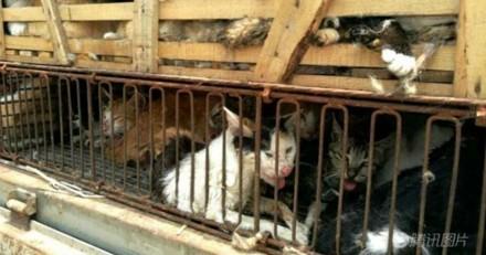 500 chats emprisonnés et destinés à des restaurants libérés en Chine !