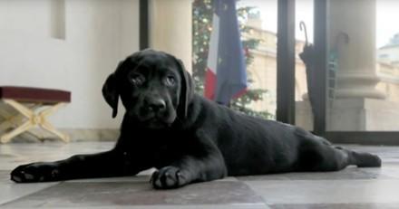 Carnet rose à l'Elysée : Philae, la chienne de François Hollande, a donné la vie à 10 chiots !