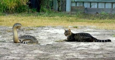 Courageux, un chat reste impassible face à un dangereux serpent jusqu'à l'arrivée des policiers
