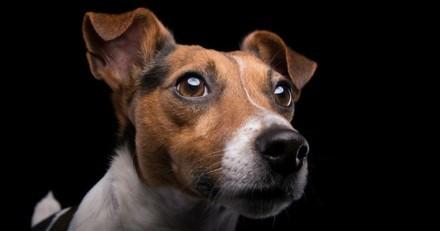 Des Jack Russell Terrier sans problèmes oculaires, grâce à un test ADN