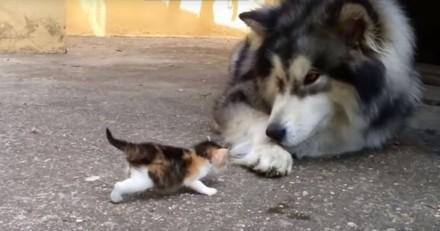 Le chaton court vers le Husky : tout d'un coup, tout se passe très vite !